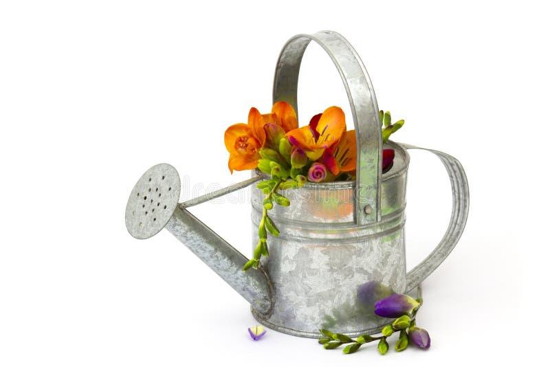 Blommande freesia i bevattna kan arkivbild