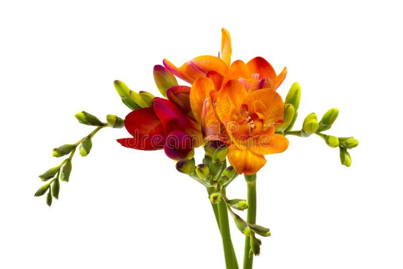 Blommande freesiablommor royaltyfri fotografi