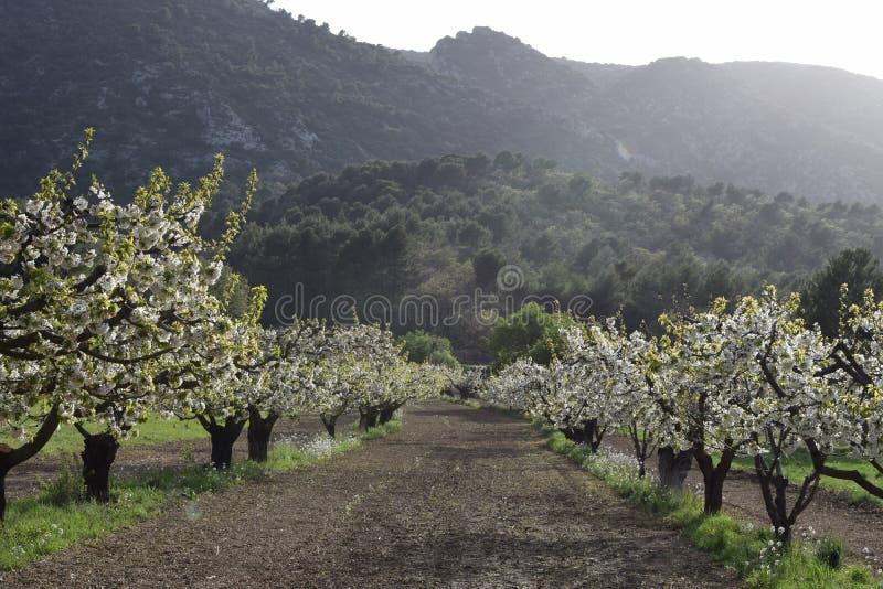 blommande fruktträdgård för fruktträd Oppede-le-vieux arkivbild