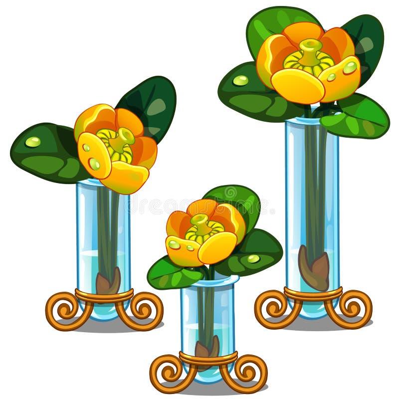 Blommande gul Nupharlutea i den glass vasen vektor vektor illustrationer