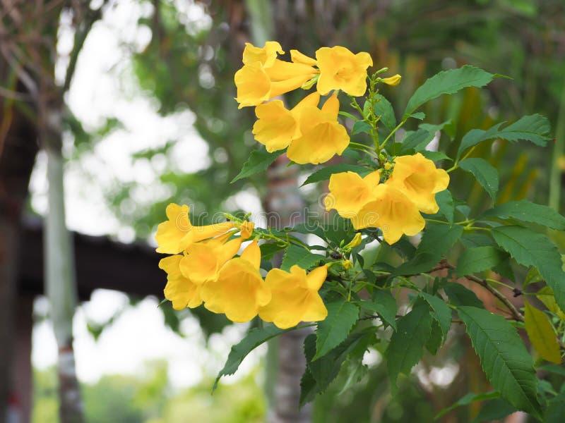 Blommande gula Klocka, gul fläder, trumpetvinranka arkivbilder