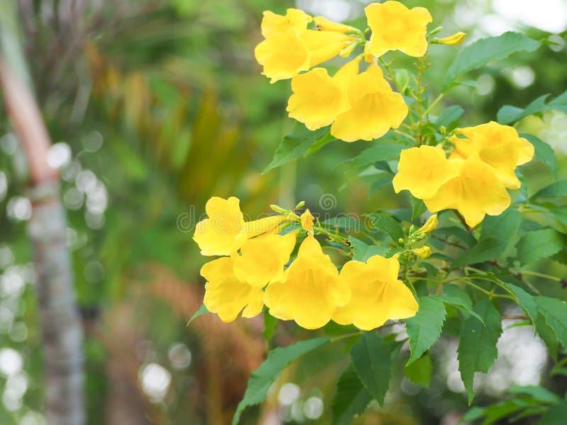 Blommande gula Klocka, gul fläder, trumpetvinranka arkivfoto
