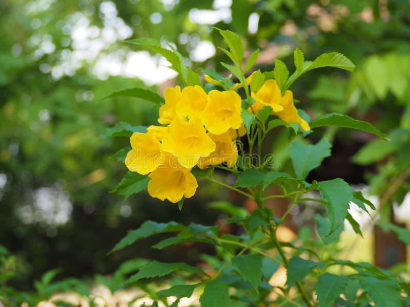 Blommande gula Klocka, gul fläder, trumpetvinranka royaltyfri foto