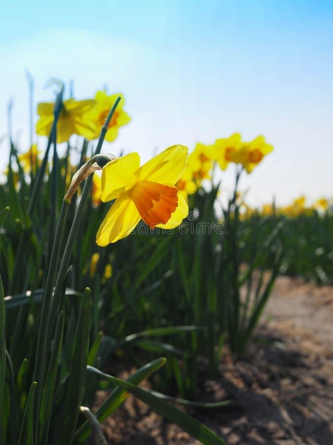 Blommande gula påskliljor royaltyfria bilder