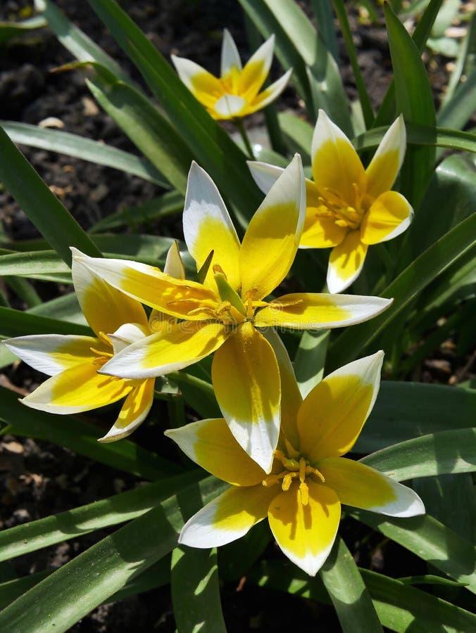 Blommande gula tulpan på våren mot bakgrunden av gröna sidor royaltyfria foton