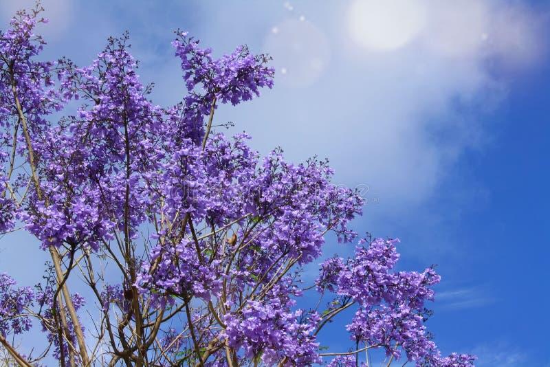 Blommande jakaranda fotografering för bildbyråer