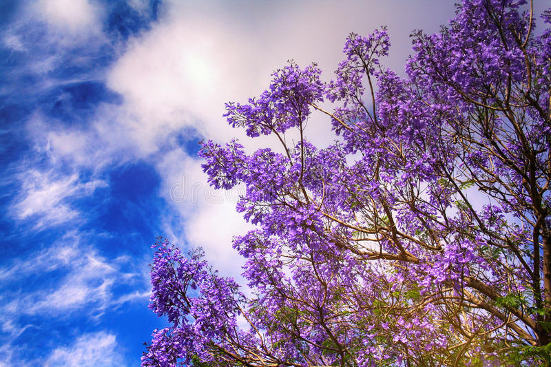 Blommande jakaranda arkivfoto