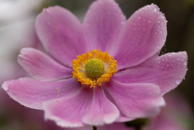 Blommande japansk anemon med dagg på den arkivfoto