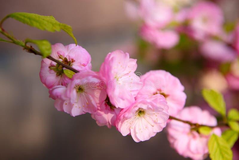 Blommande japansk plommon royaltyfri fotografi