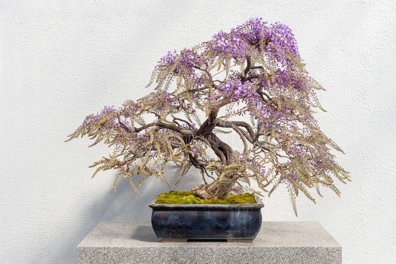 Blommande japansk Wisteriabonsai royaltyfria foton