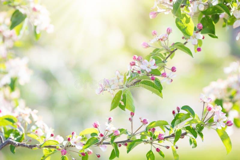 Blommande körsbärsröd blomning Vårblomma i trädgård arkivbilder