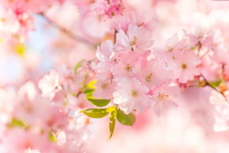 Blommande körsbärsrött träd för vår arkivbilder