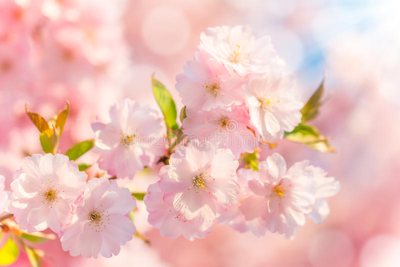 Blommande körsbärsrött träd för vår arkivfoton
