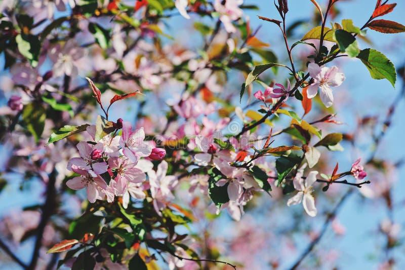Blommande körsbärsrött träd i vårträdgård royaltyfri bild