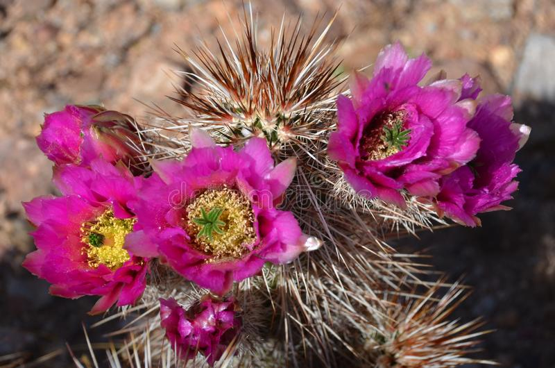 Blommande kaktus på gammaximum i Arizona fotografering för bildbyråer