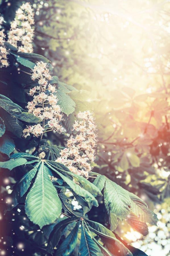 Blommande kastanjebruna träd i trädgård eller parkerar royaltyfria foton