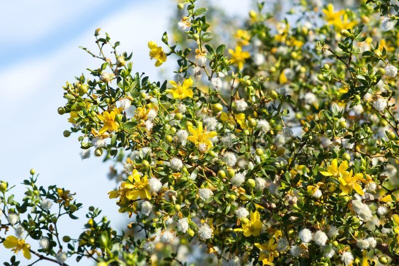 Blommande kreosotbuske (Larreatridentata) mot himlen royaltyfri fotografi