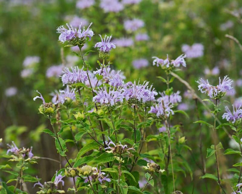 Blommande lös Bergamot Bi som tilldrar fältblommor Monarda Fistulosa Bibalsam, en vildblomma i mintkaramellfamiljen royaltyfri bild