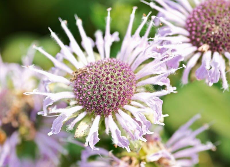 Blommande lös Bergamot Bi som tilldrar fältblommor Monarda Fistulosa Bibalsam, en vildblomma i mintkaramellfamiljen fotografering för bildbyråer