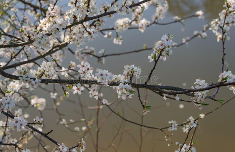 Blommande lös körsbär tidig fjäder royaltyfria foton