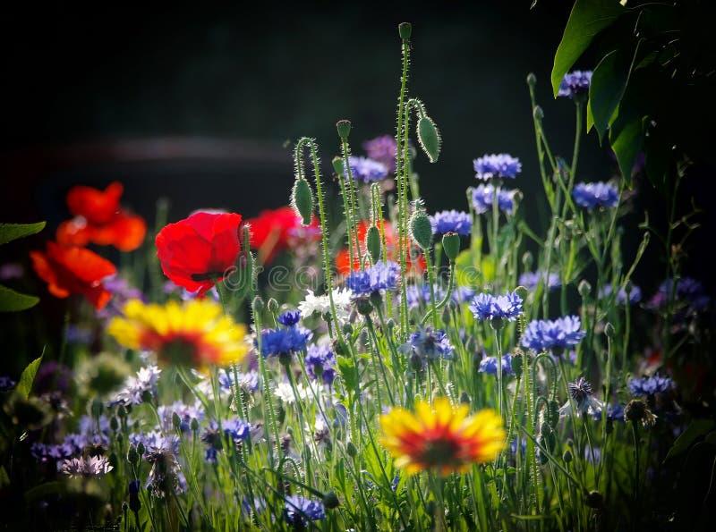 Blommande lösa blommor på ängen på sommartid royaltyfri fotografi