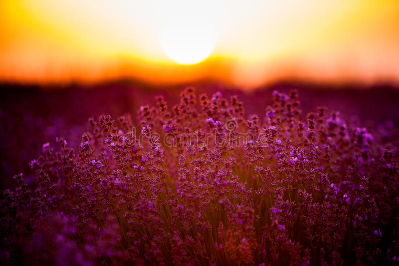 Blommande lavendel i ett fält på solnedgången Bedöva landskap med lavendelfältet på solnedgången royaltyfria bilder