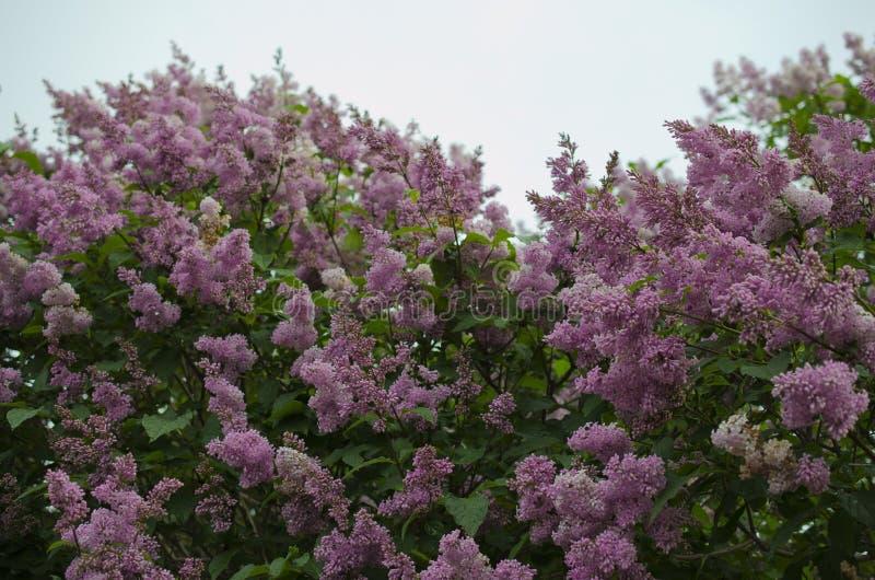 Blommande lila i parkera arkivfoton