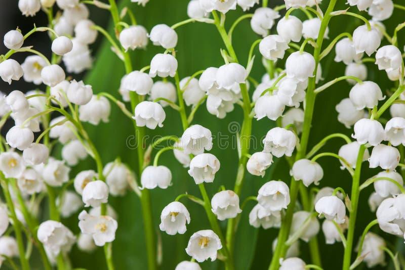 Blommande liljekonvalj i vårträdgård med den grunda fokusen royaltyfria bilder