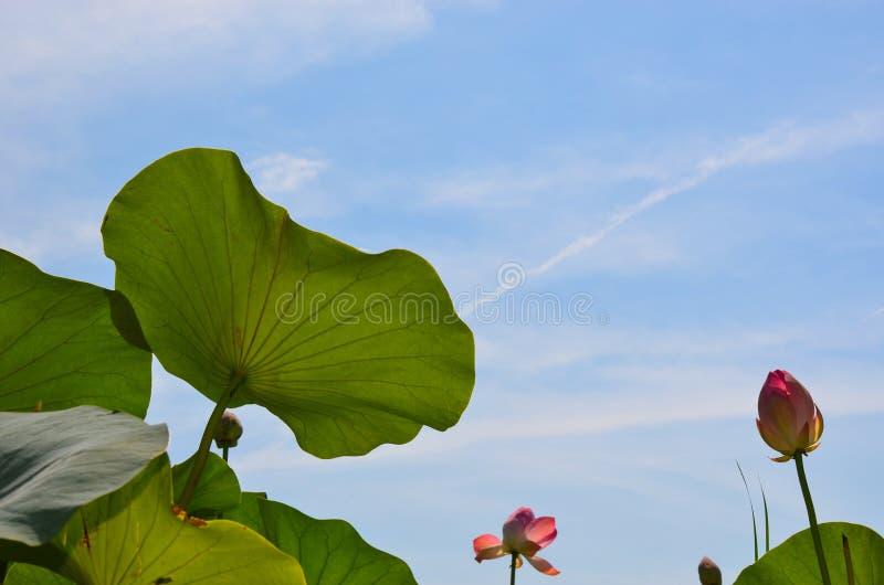 Blommande lotusblomma med sidor mitt emot blå himmel royaltyfria bilder