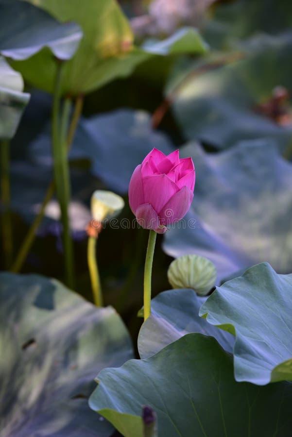 Blommande lotusblomma och rotar fotografering för bildbyråer