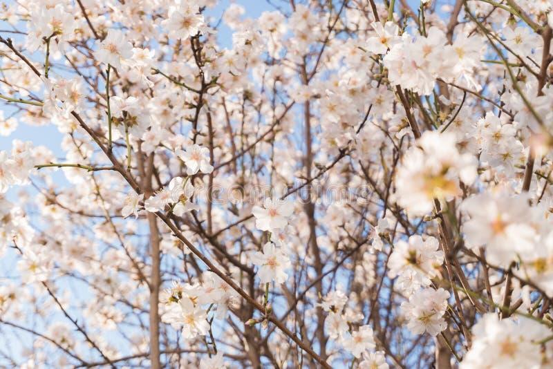 Blommande mandelträd för vår royaltyfri bild