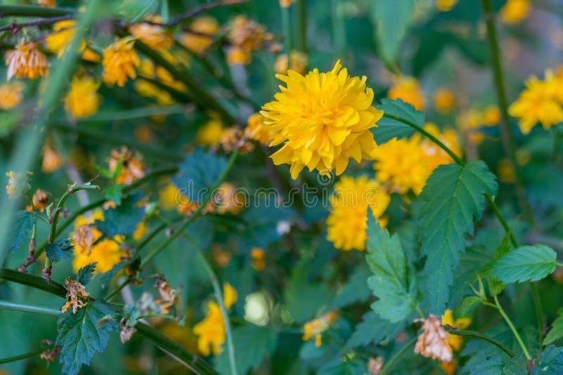 Blommande maskrosblomma royaltyfria foton