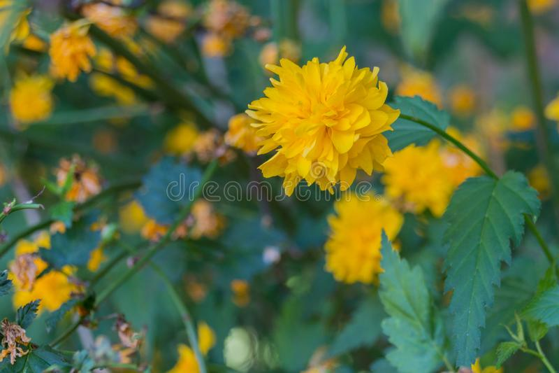 Blommande maskrosblomma royaltyfri bild
