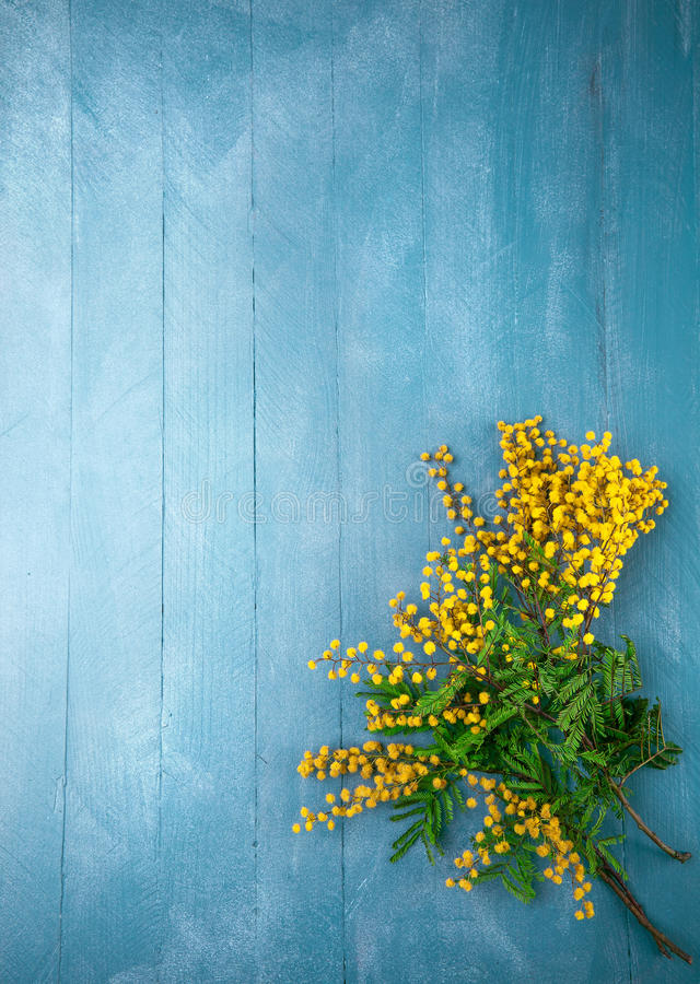 Blommande mimosa för filial på blått träbräde royaltyfri bild