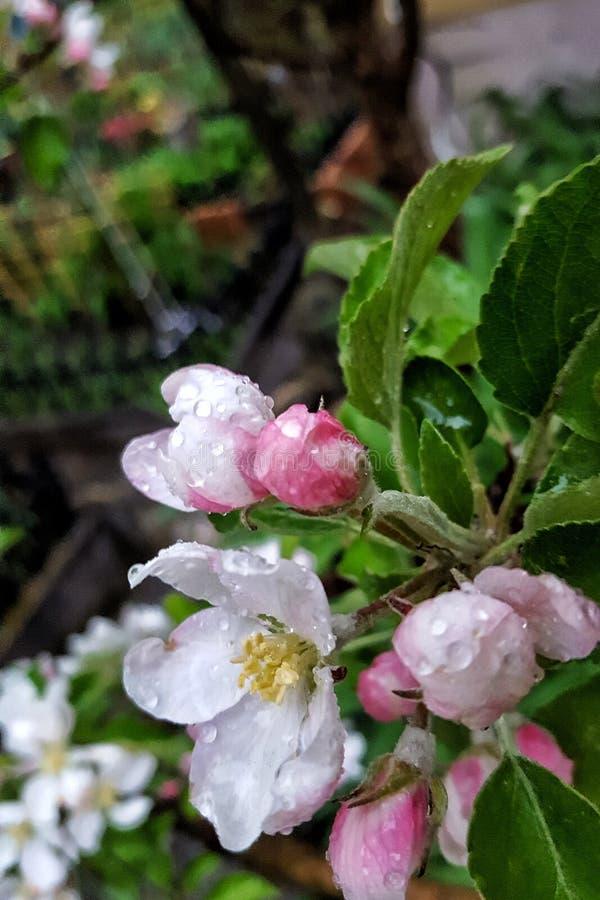 Blommande närbild för träd royaltyfri fotografi