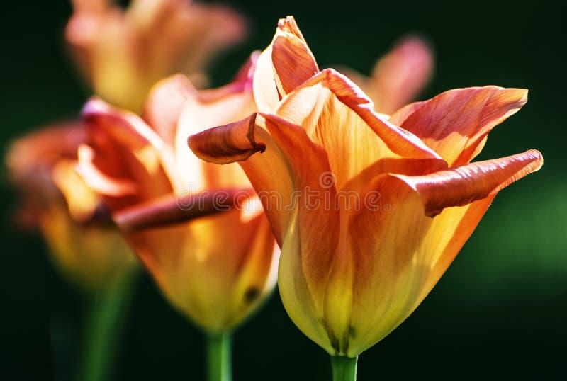 Blommande orange tulpan, skönhetfilter royaltyfria foton