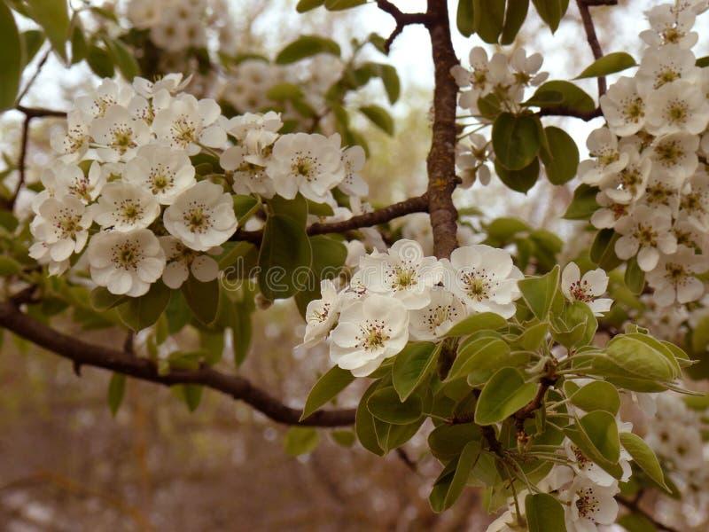 Blommande päron-träd royaltyfri bild