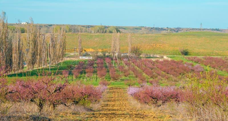 Blommande persikarosa färgblommor royaltyfria foton