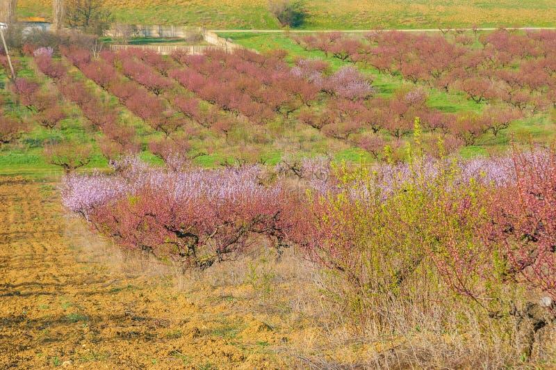 Blommande persikarosa färgblommor arkivfoto