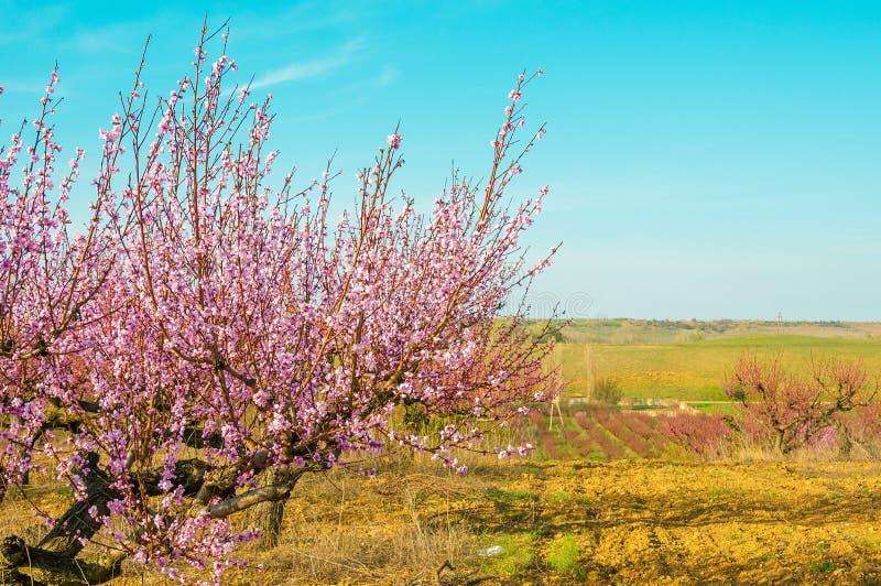 Blommande persikarosa färgblommor arkivfoton