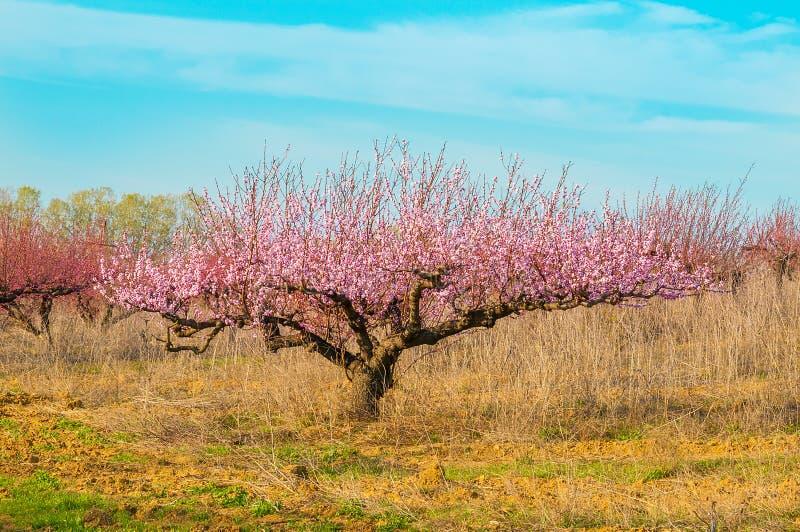 Blommande persikarosa färgblommor arkivbilder