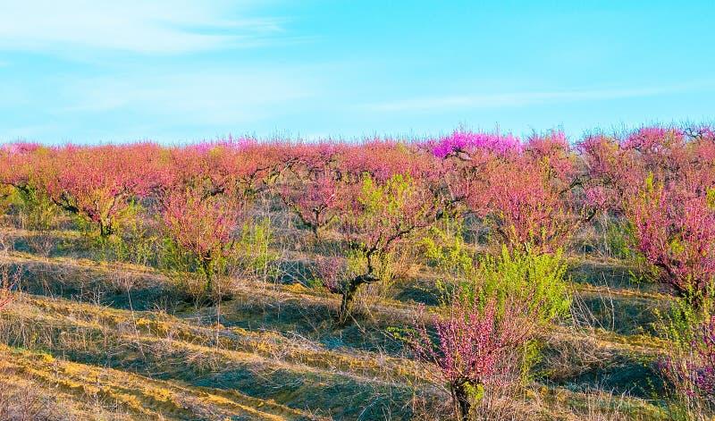 Blommande persikarosa färgblommor royaltyfria bilder