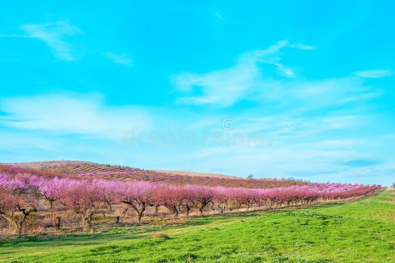 Blommande persikarosa färgblommor arkivbild