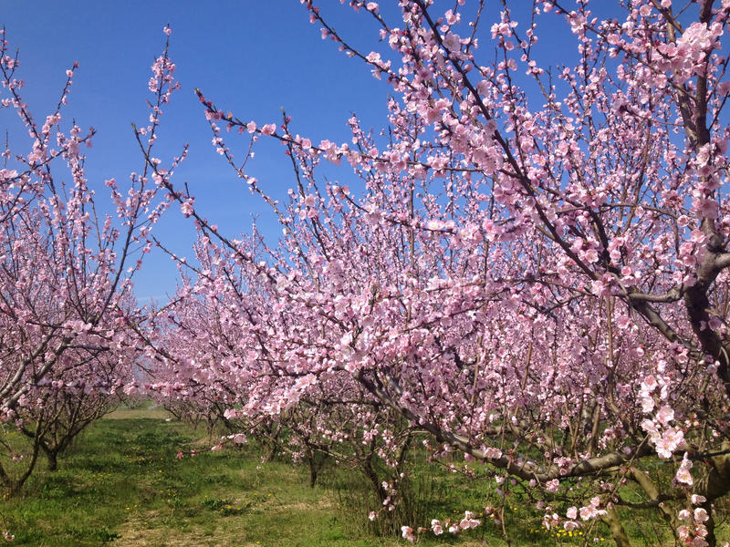 Blommande persikaträd i vår royaltyfria bilder