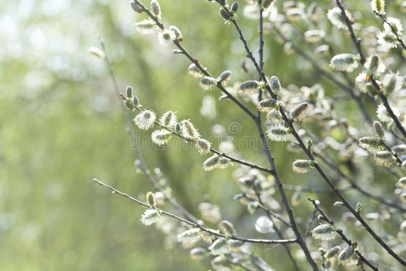 Blommande pil (Salixcapreaen) royaltyfri foto