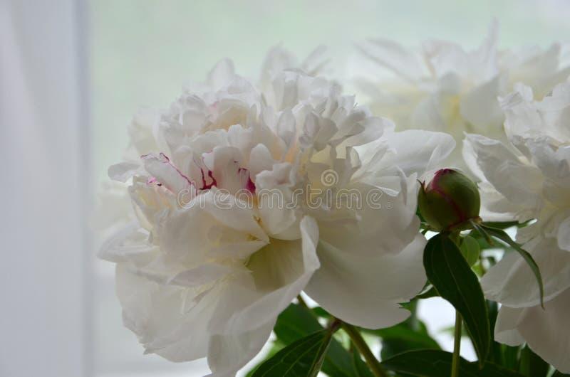 Blommande pionvit royaltyfri foto