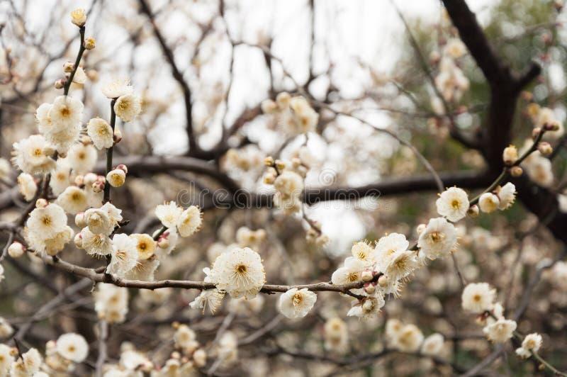 Blommande plommonblomma royaltyfria foton