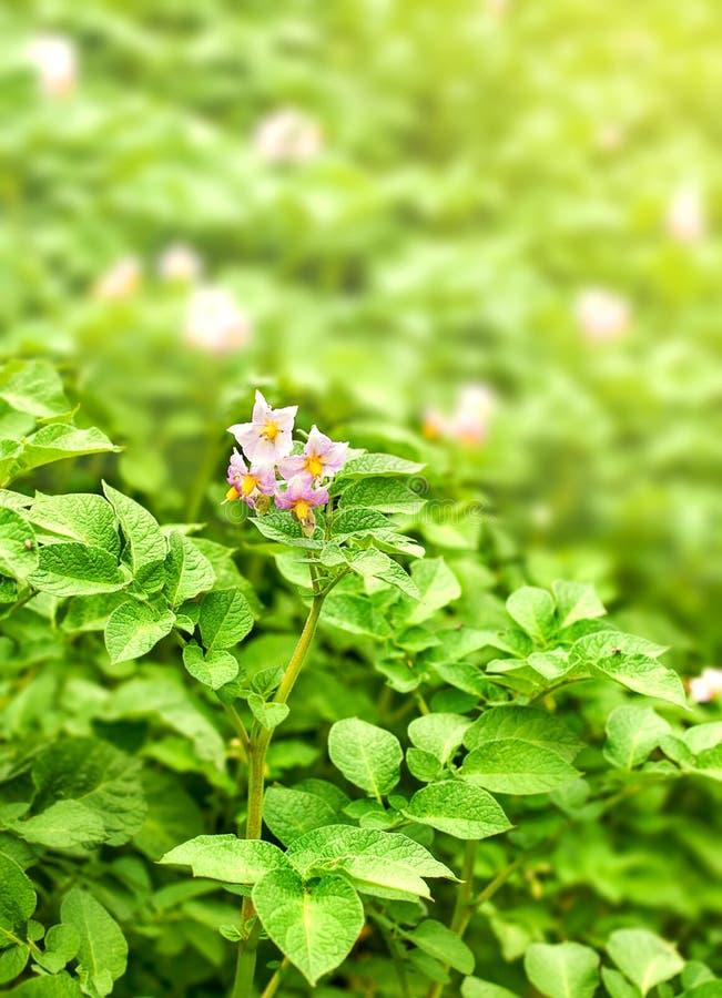 Blommande potatisar med det gröna bladet royaltyfri fotografi