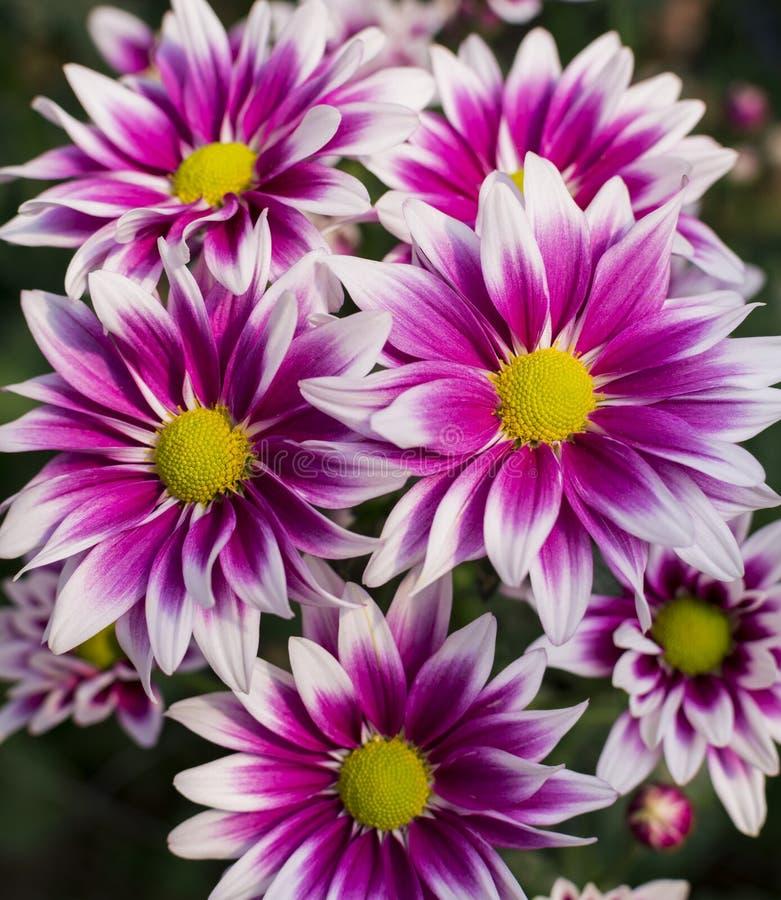Blommande purpurfärgad krysantemum royaltyfria bilder