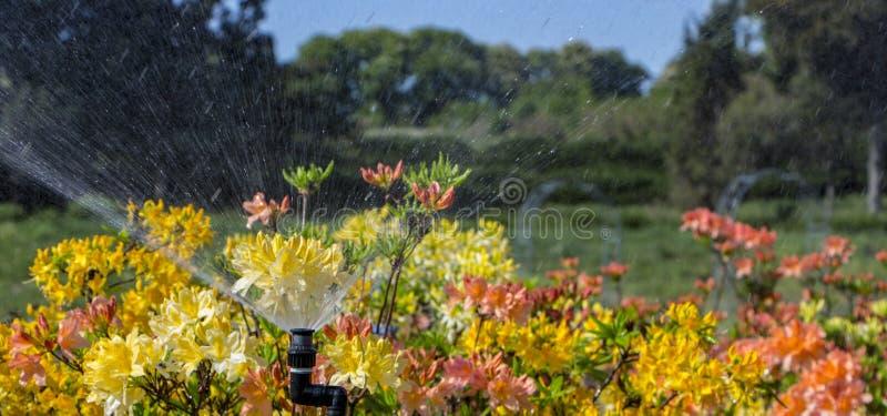 Blommande rhododendronazaleanärbild Beautyful azaleablomma Rött royaltyfri bild